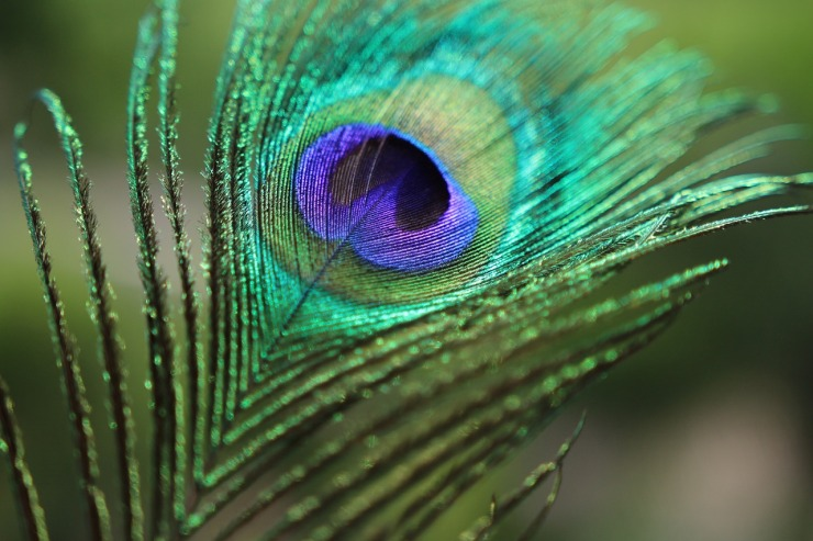 peacock-feather-1213066_1280
